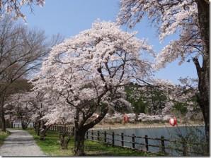 20130329hananokosakura1
